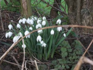 bunch of february snowdrops in the pottery garden at eastnor pottery