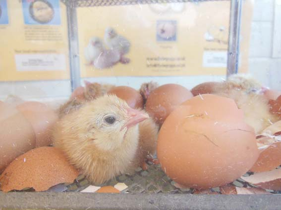 Little Chicks at Washwood Primary School with Eastnor Pottery