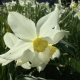 delicate daffodil flower in garden at eastnor pottery in herefordshire